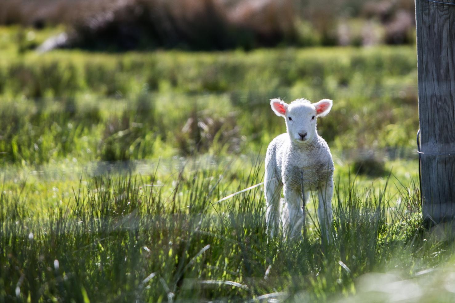 Lambs 1